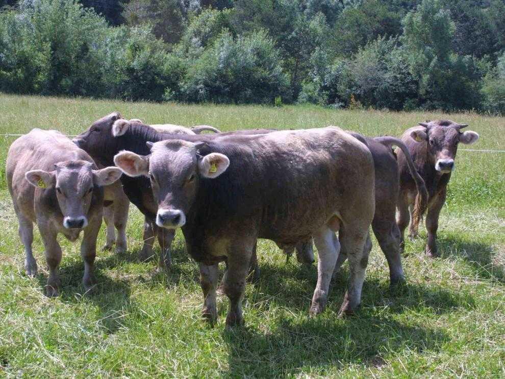 Ejemplares de vacuno de carne de una explotación de la provincia de Huesca
