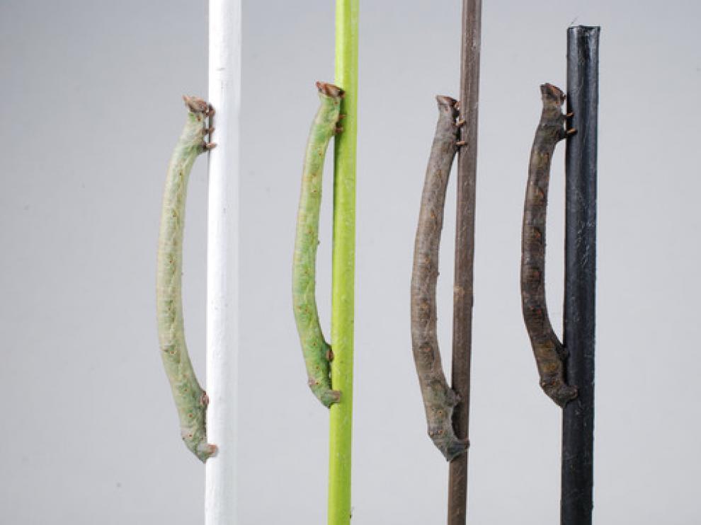 Las larvas de la polilla moteada cambian de color según la rama en la que estén