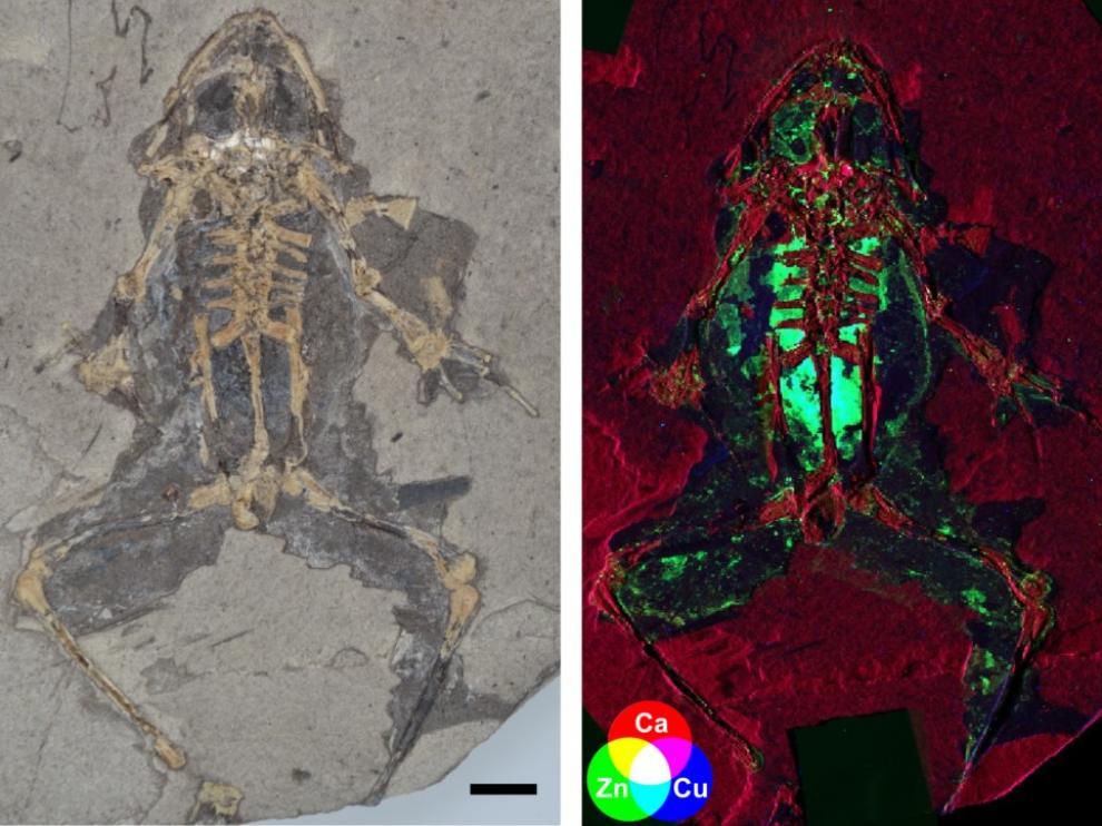 Rana fósil de Libros, de 10 millones de años de antigüedad, y mapa de rayos X que muestra la concentración de cobre y zinc en los órganos