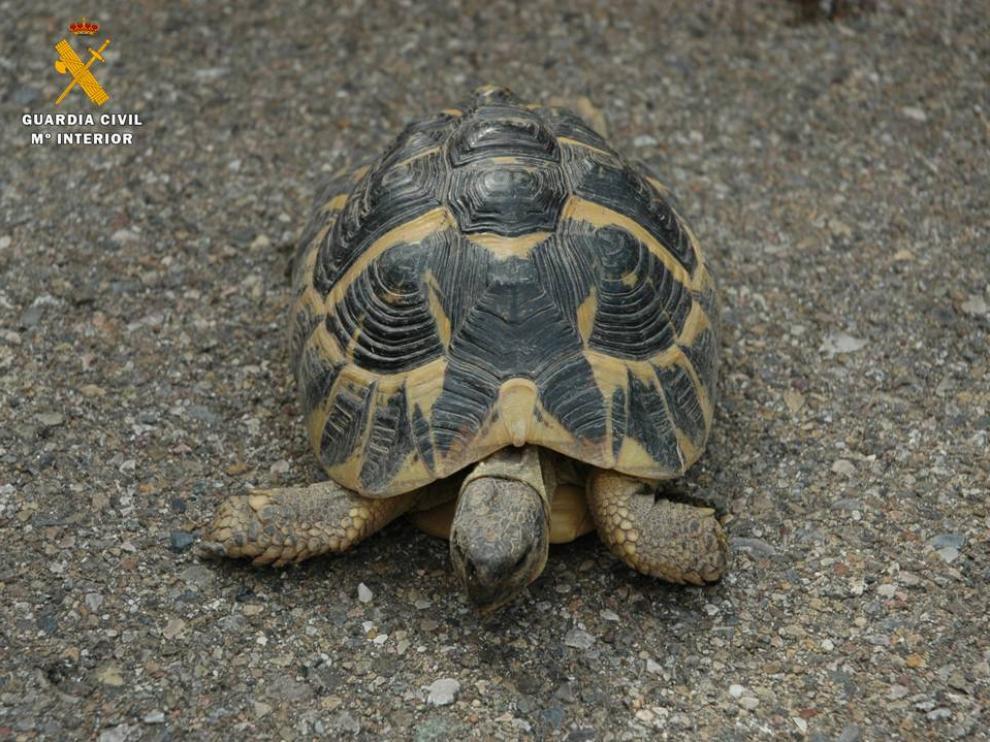 El ejemplar de tortuga se encuentra a salvo en el centro del Seprona en La Alfranca