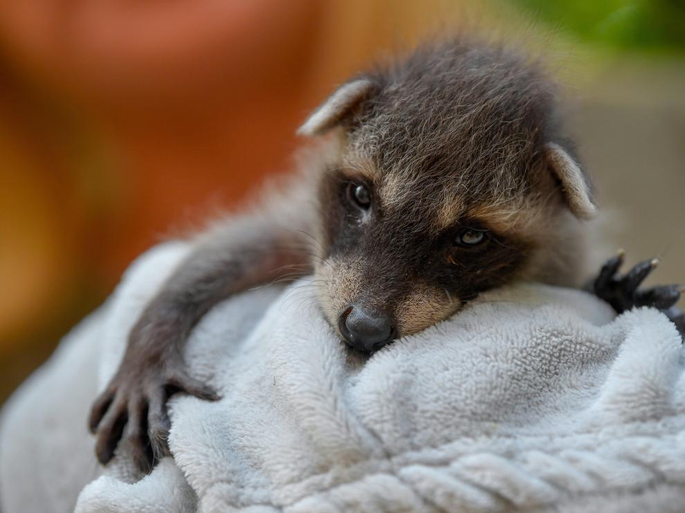 El mapache (en la foto, una cría recién nacida) es una de los animales exóticos ya incluidos en el catálogo español de especies invasoras.