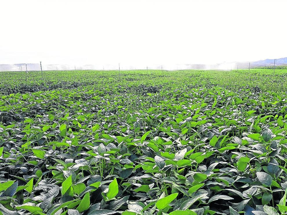 Vista de un campo de soja en la localidad oscense de Sariñena.
