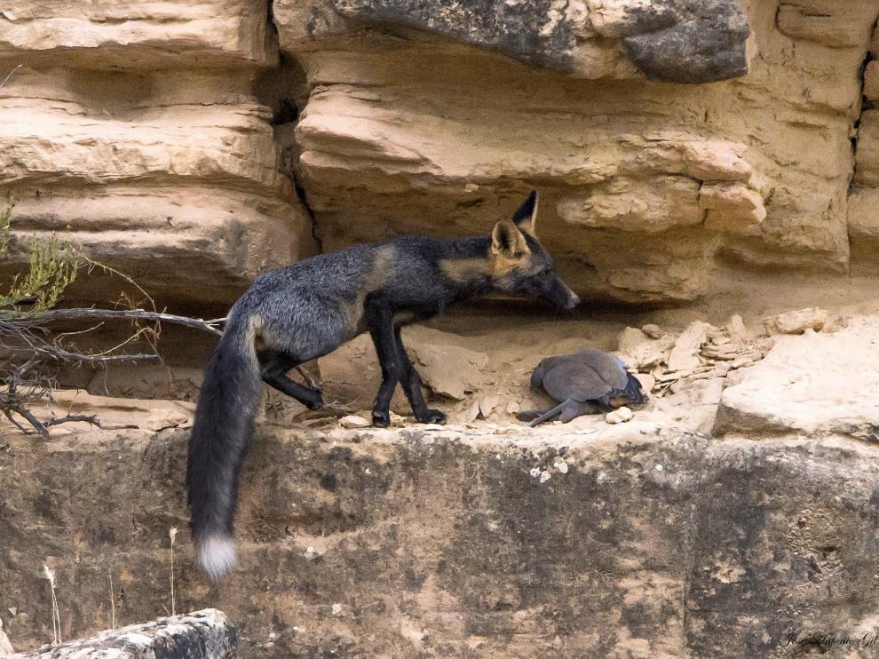 El zorro negro captado en un paraje de Alcañiz.