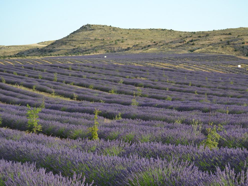 Plantación de lavandín del Grupo Térvalis, uno de los pioneros en apostar por este tipo de cultivos.