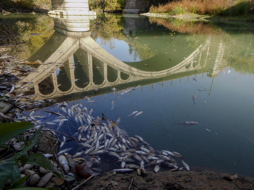 Un episodio de mortandad de peces en el Cinca en 2017.