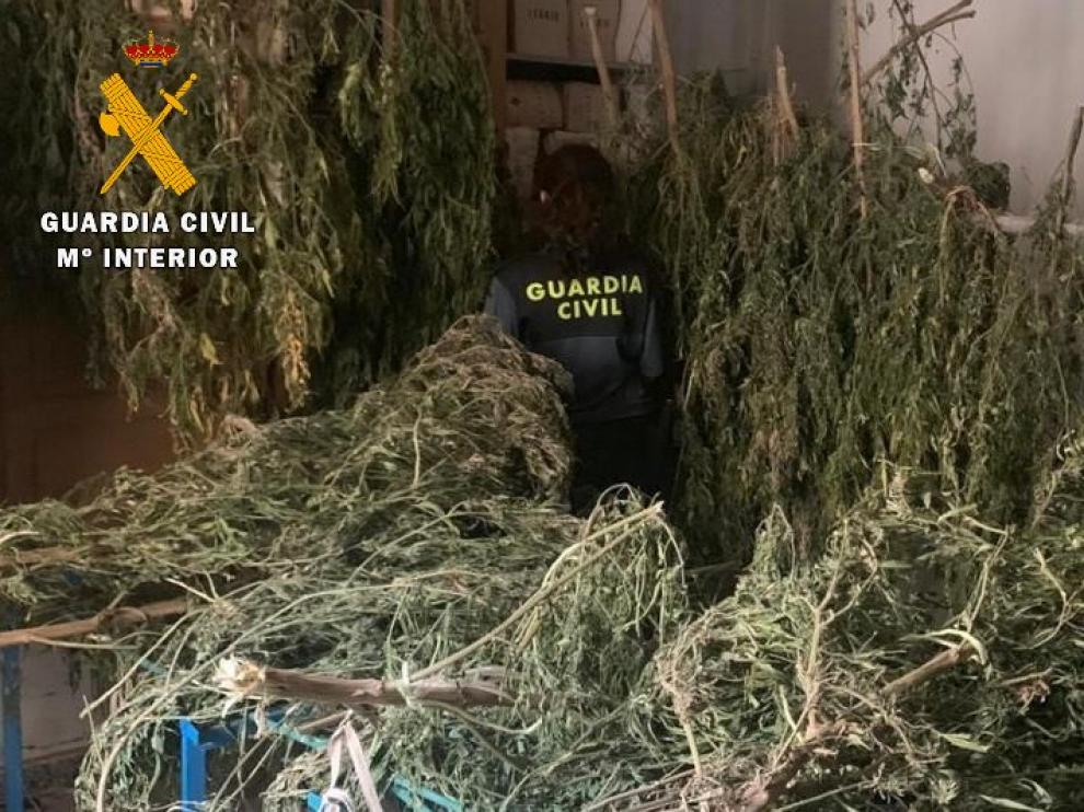 La plantación de marihuana de Pallaruelo de Monegros estaba camuflada en un campo de maíz.