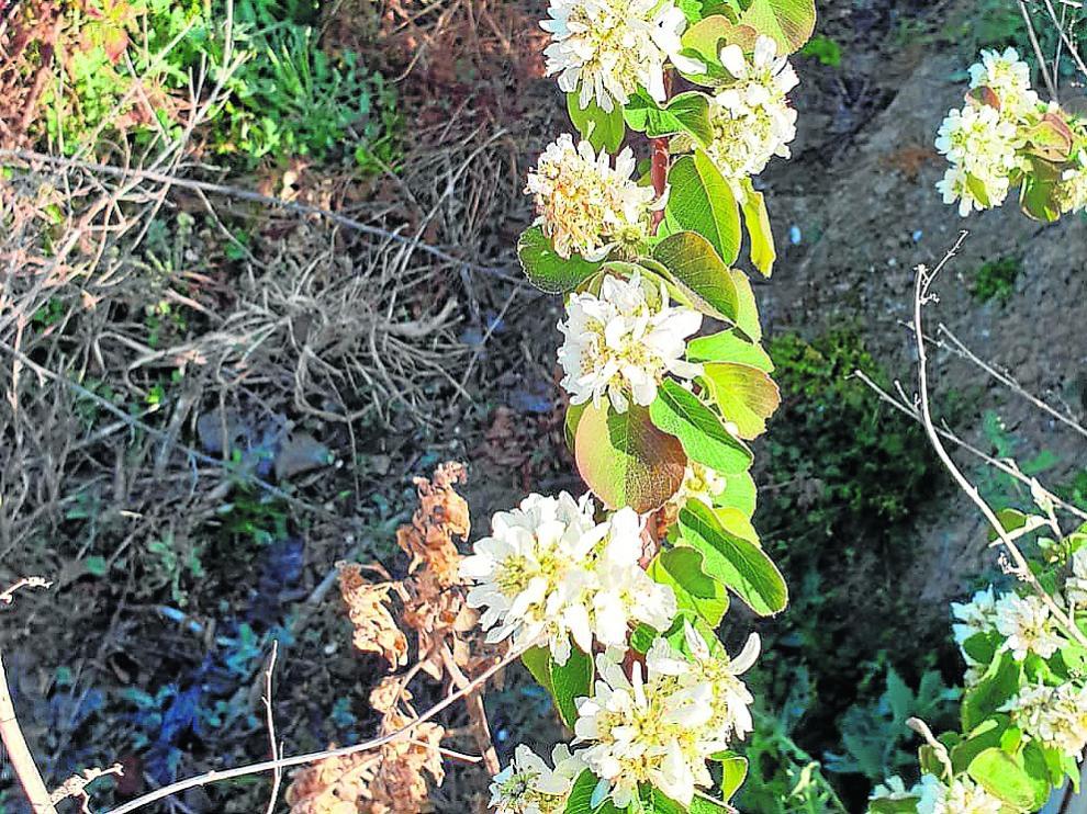 Cultivos de guillomo en plena floración en los ensayos aragoneses.