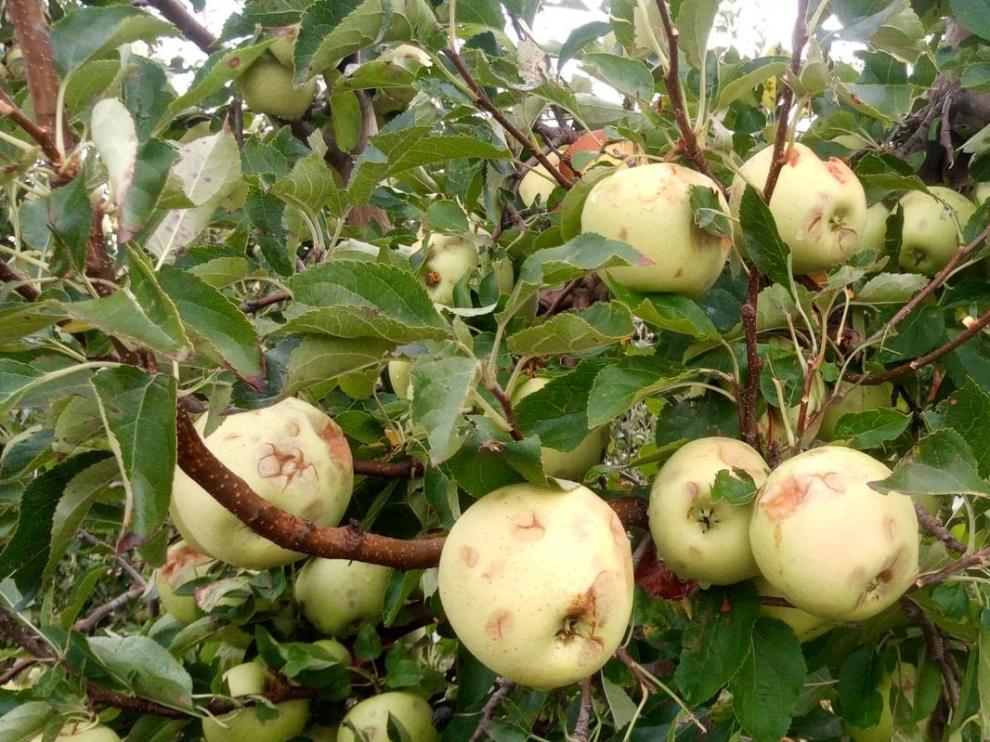 Cultivos de manzana afectados por las tormentas de granizo.