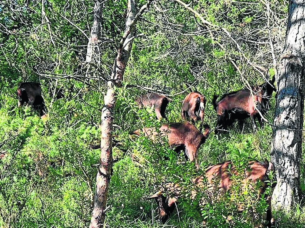 El rebaño de cabras de María Bueno y Kiko Bardají se alimenta de los ricos pastos del entorno de la localidad pirenaica de Aragüés del Puerto.
