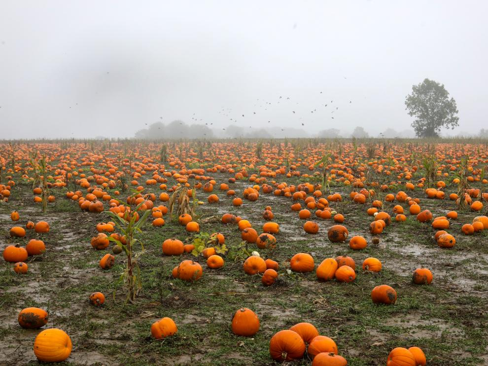 Pumpkins sit on a field ready to be picked at the Colchester Pumpkin Patch in Aldham, Britain October 24, 2019. REUTERS/Simon Dawson [[[REUTERS VOCENTO]]] BRITAIN-PUMPKINS/
