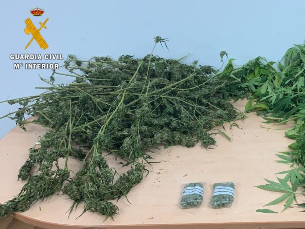 Plantas de marihuana intervenidas por la Guardia Civil en la vivienda de Monzón.