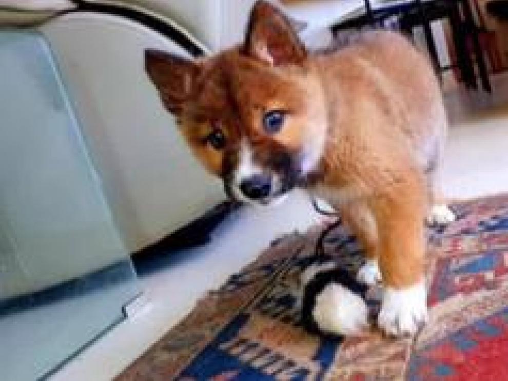 Encontraron un pequeño cachorro en el jardín de su casa en Australia, llorando, herido. Lo acogieron en su casa y lo cuidaron con mimo. Al llevarlo al veterinario supieron que no era un perro sino un dingo, una subespecie de lobo en peligro de extinción.
