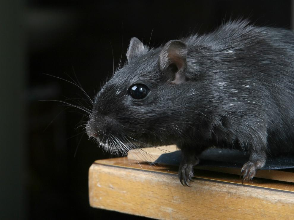 tiene una enorme capacidad de reproducción y puede trasmitir enfermedades como leptospirosis o salmonelosis.