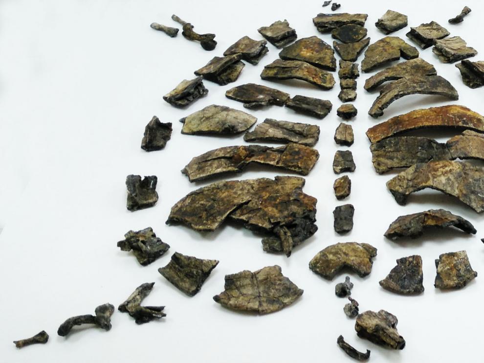 Parte del esqueleto del holotipo (ejemplar de referencia) de la nueva tortuga primitiva Aragochersis, incluyendo el cráneo, la mandíbula, el caparazón y varias vértebras y huesos de las extremidades.