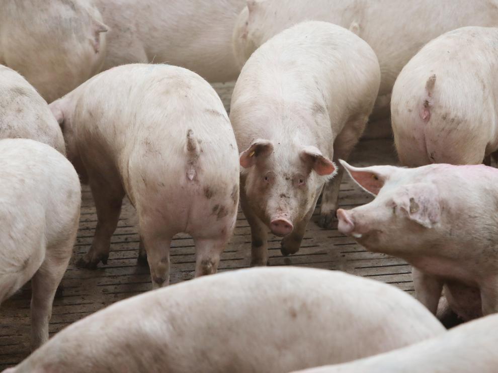 Granja de cerdos de Portesa en Singra/13-02-19/foto:Javier Escriche [[[FOTOGRAFOS]]]