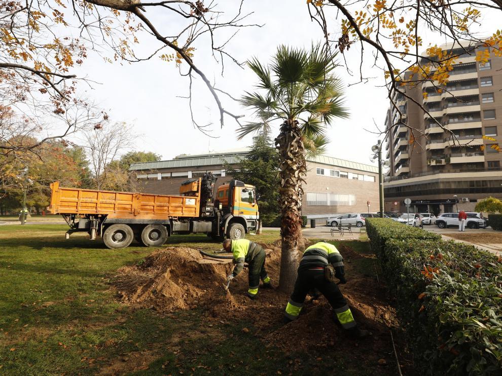Varios operarios plantan una palmera en el parque Miraflores, este jueves.