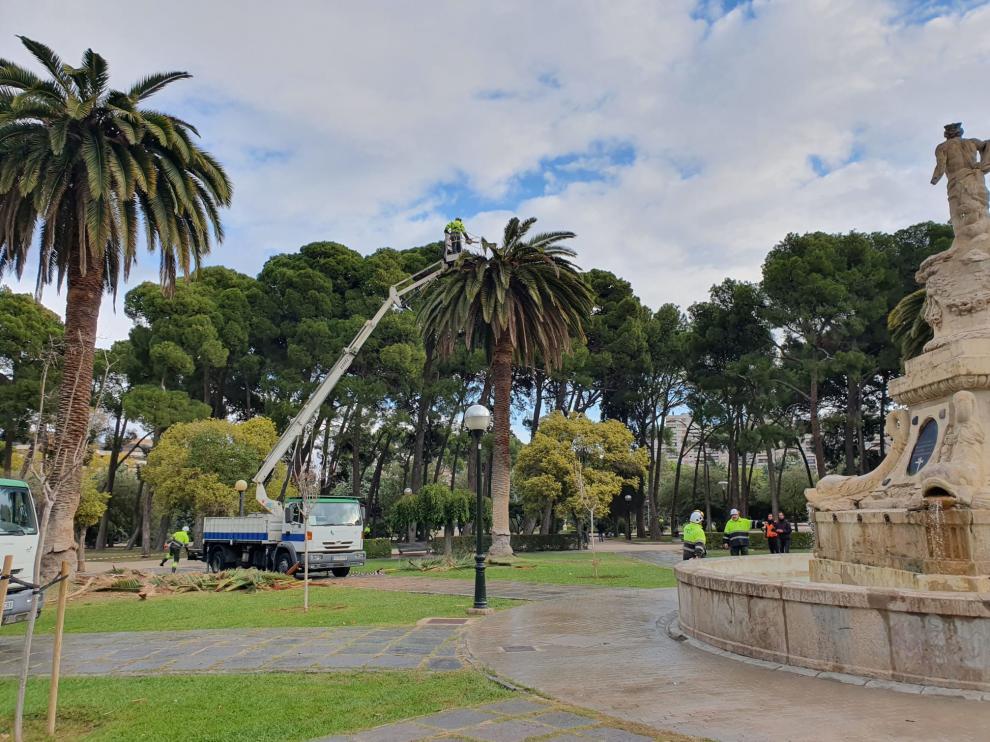 Operarios de Parques y Jardines eliminan la plaga de picudo de las palmeras del Parque Grande.