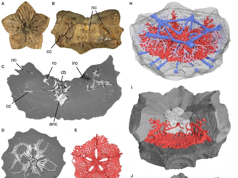 Hallan por primera vez el sistema nervioso de un lirio de mar de hace 125 millones de años en fósiles de Teruel.