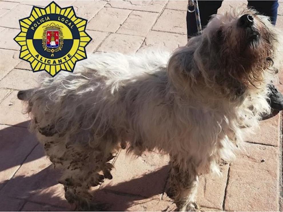 Uno de los 36 perros rescatados de una vivienda de 50 metros en Alicante.