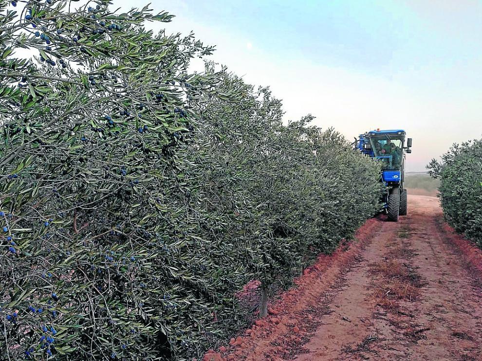Un agricultor realiza las labores de recolección de la oliva en una explotación del Bajo Aragón