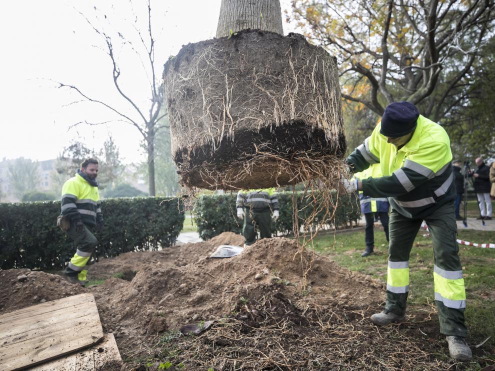 Un operario de FCC, durante la plantación de un árbol.