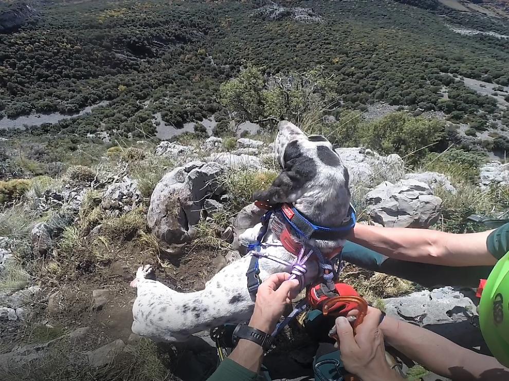 Especialistas de los Greim de Boltaña colocan el arnés al perro ensricado en La Fueva.