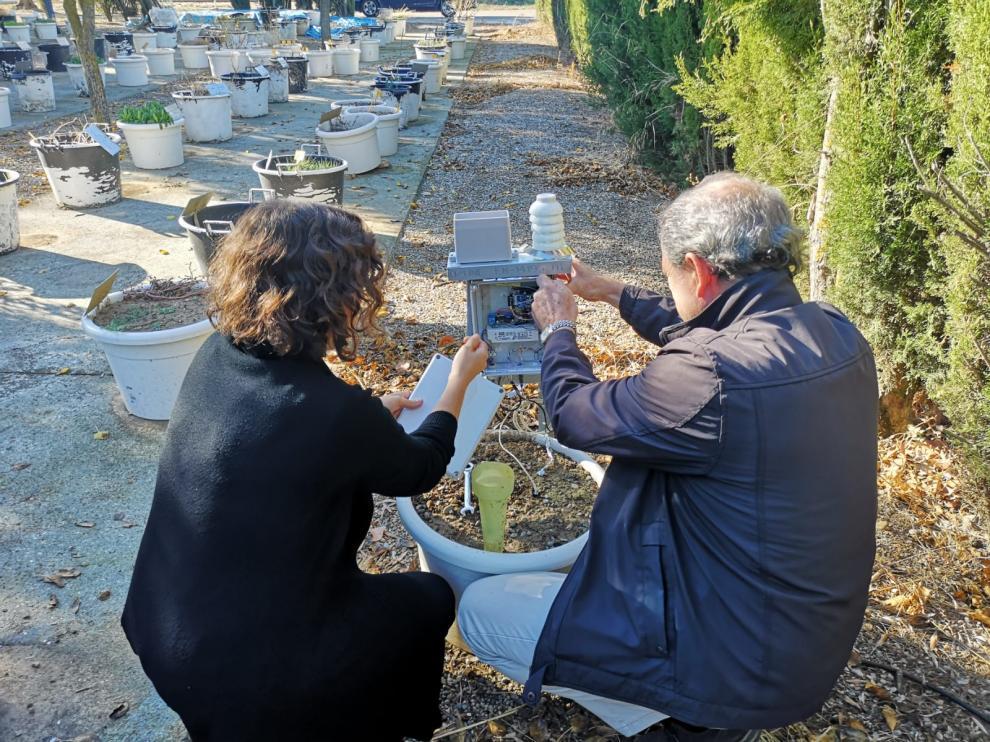En el jardín arvense del CITA se hace un seguimiento a largo plazo de la emergencia de la planta y su fenología.