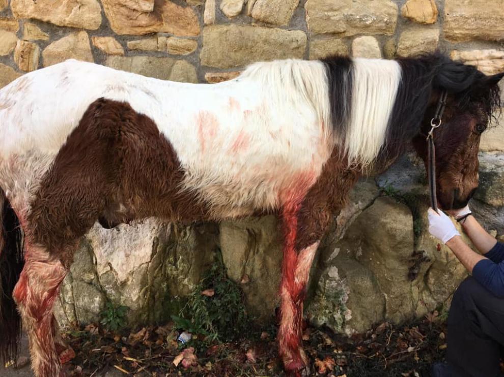 El caballo quedó malherido a raíz del ataque de los perros de caza, pero ha sobrevivido.