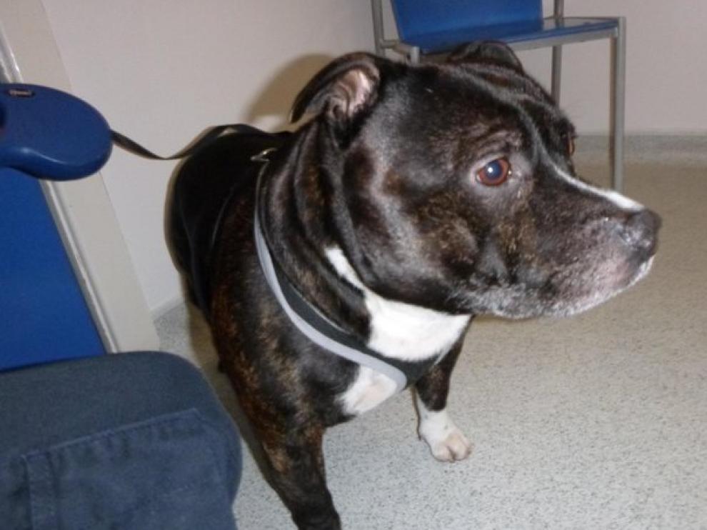 El perro abandonado es de raza Staffordshire