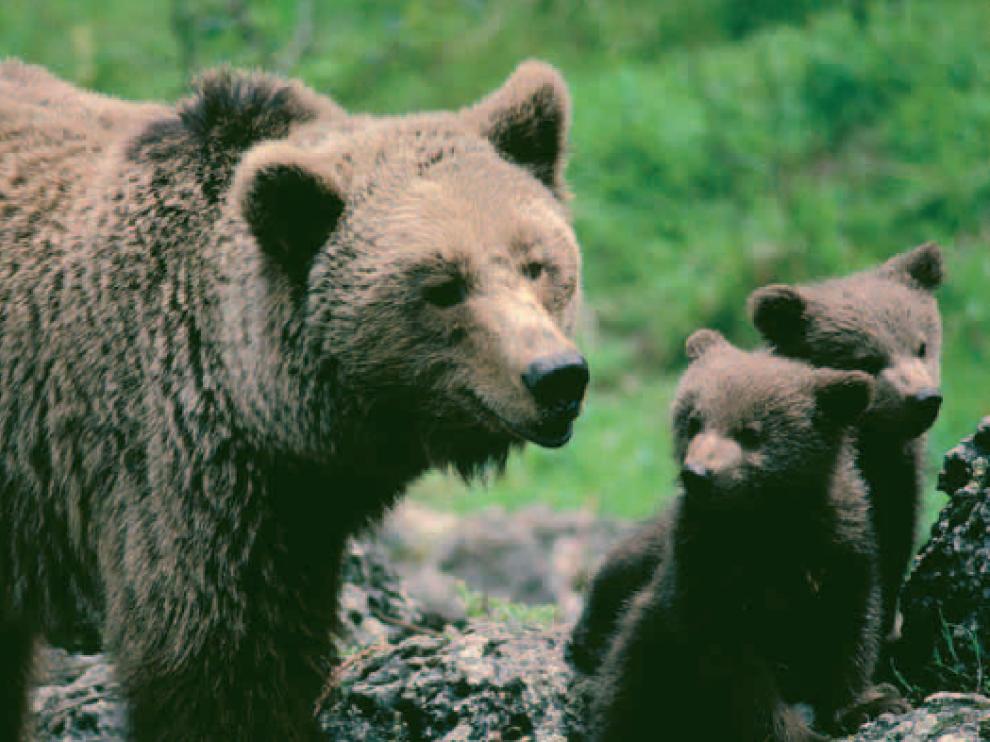 El oso pardo es una de las especies amenazadas de Aragón.