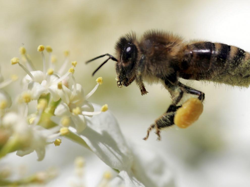 Una abeja recolecta polen.