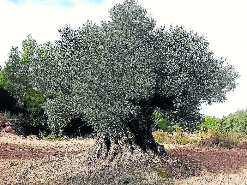 Olivo centenario de Belmonte de San José, en el Bajo Aragón