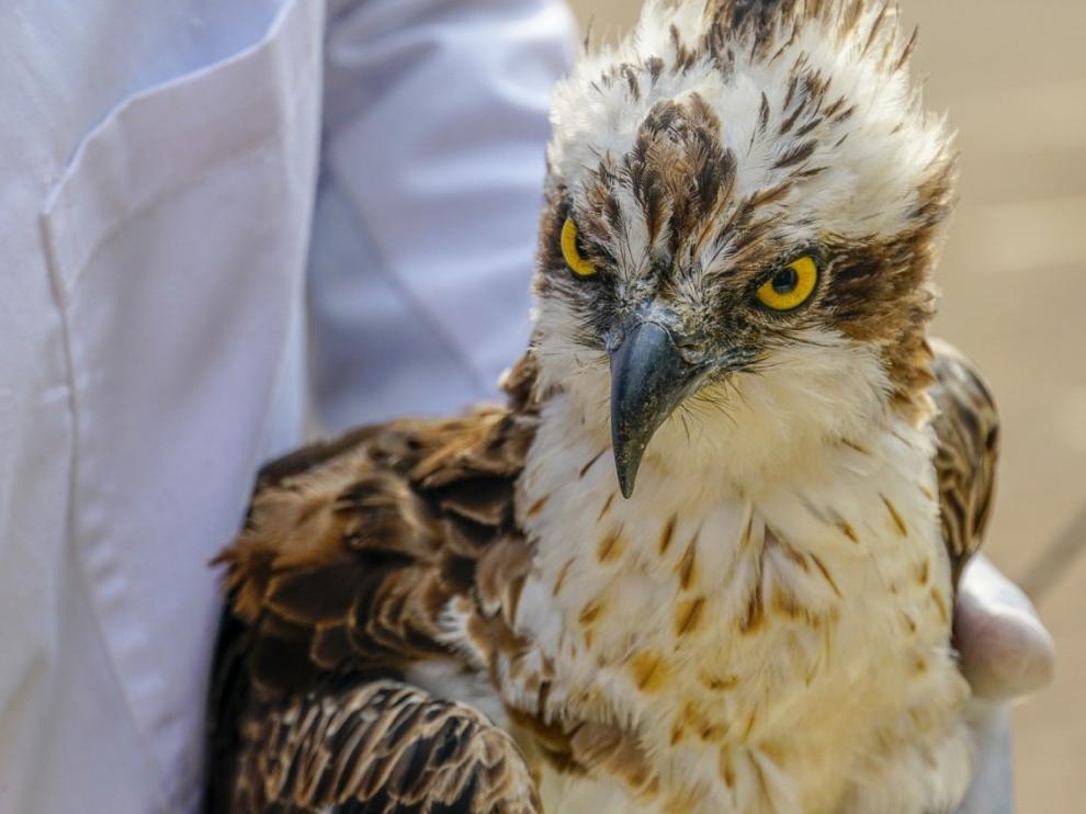 Muere el águila que llegó a Kenia tras volar 7.000 kilómetros desde Finlandia