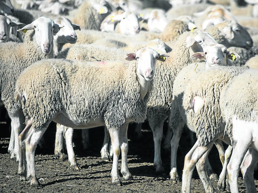 La ganadería extensiva de ovino es un sector con importante presencia en la Comunidad aragonesa.