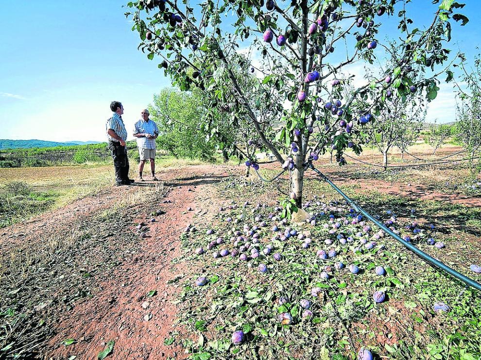 La explotación de frutales dañada el año pasado por el granizo en la Comarca de Calatayud.