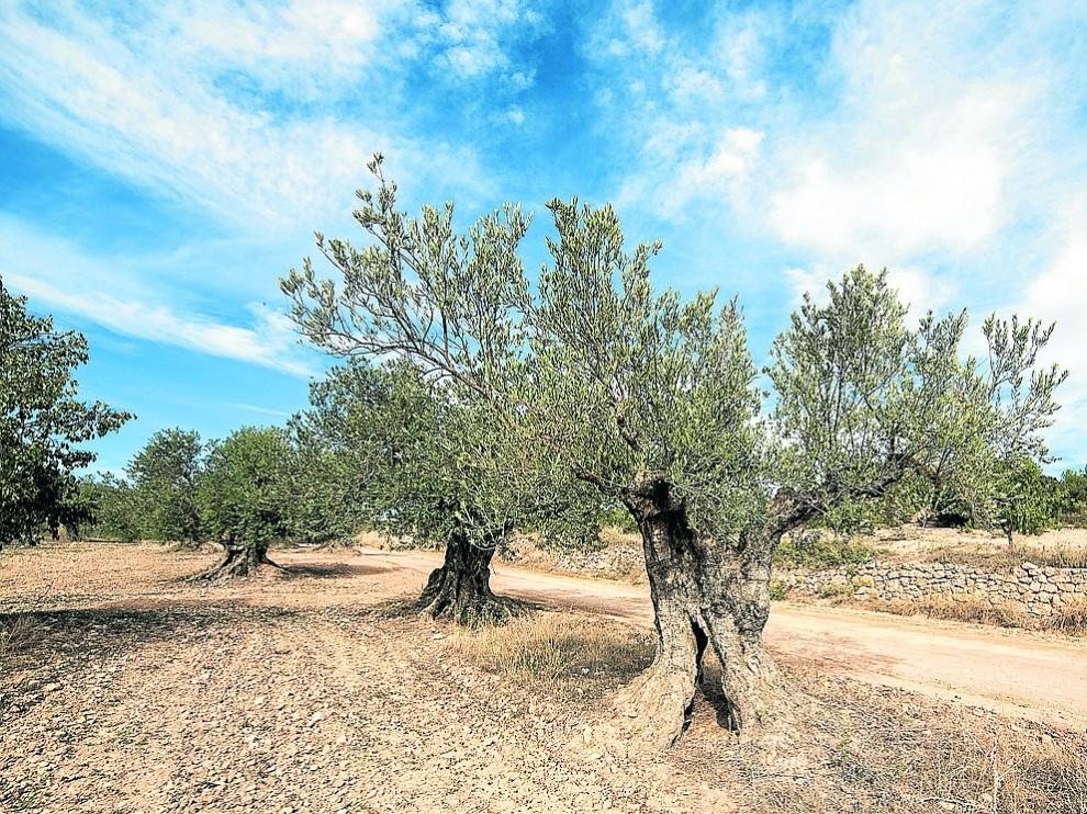 Campo de olivos en el Bajo Aragón.