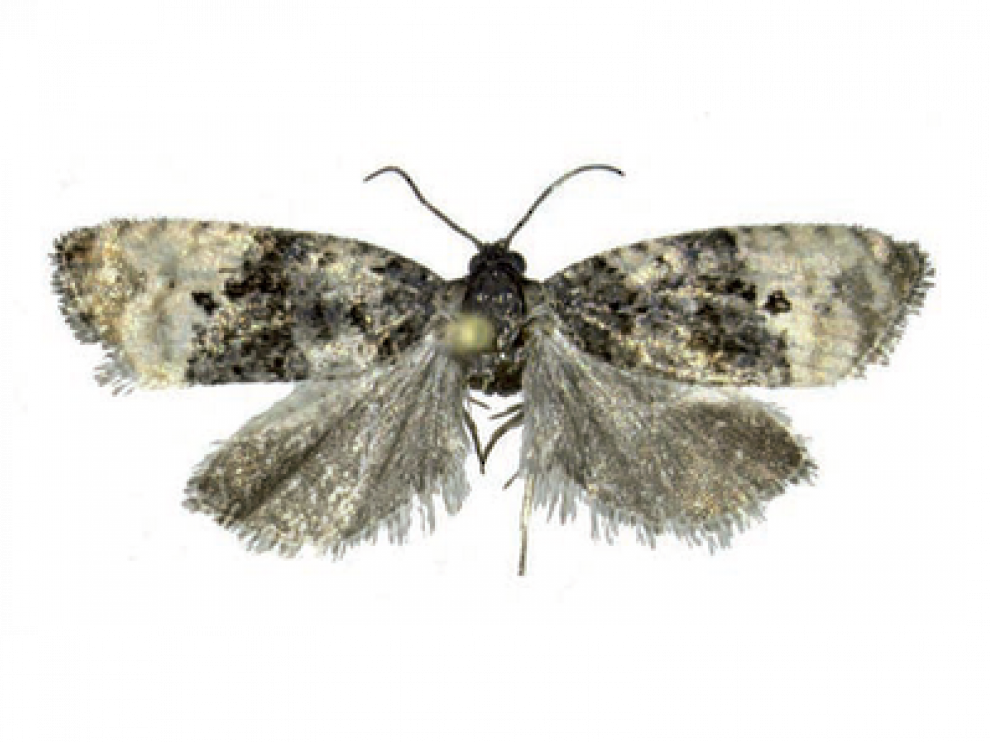 Ejemplar adulto de la mariposa 'Metendothenia atropunctana'