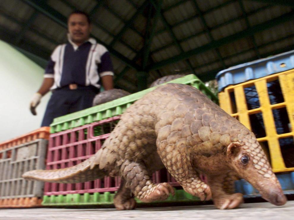 Un pangolín en Malasia.