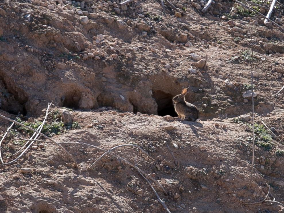 En Épila, el Ayuntamiento, los cazadores y los agricultores se han puesto de acuerdo para combatir la plaga de conejos.