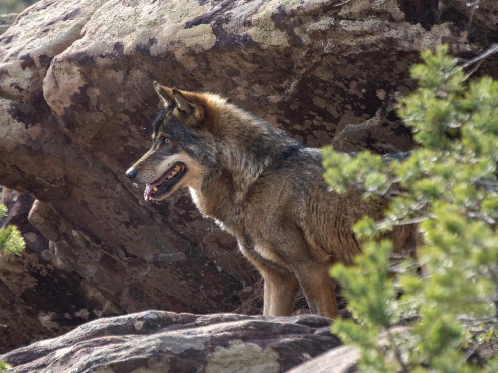 Lobo en el nuevo parque faunistico en Tramacastilla en la sierra de Albarracin. foto Antonio Garcia/Bykofoto. 28/02/20 [[[FOTOGRAFOS]]]