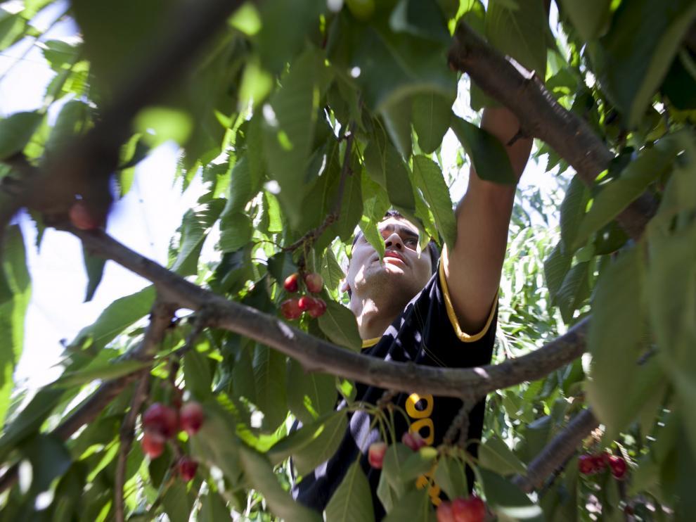 Temporeros en la recogida de la fruta dulce en Aragón