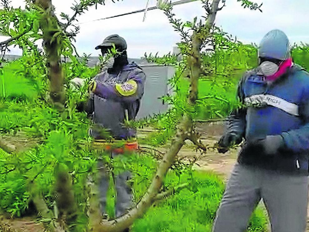 Unos temporeros, trabajando ayer en un campo de frutales de la comarca del Bajo Cinca.