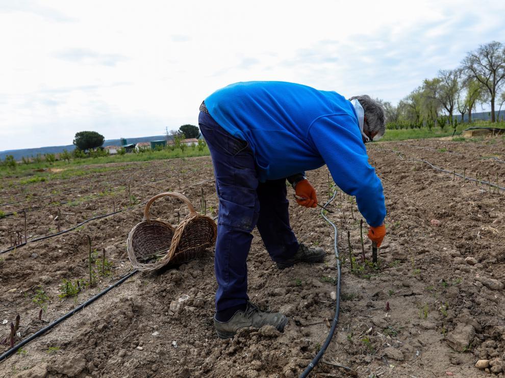 Un agricultor en un campo de Aranjuez del Instituto Madrileño de Inve.