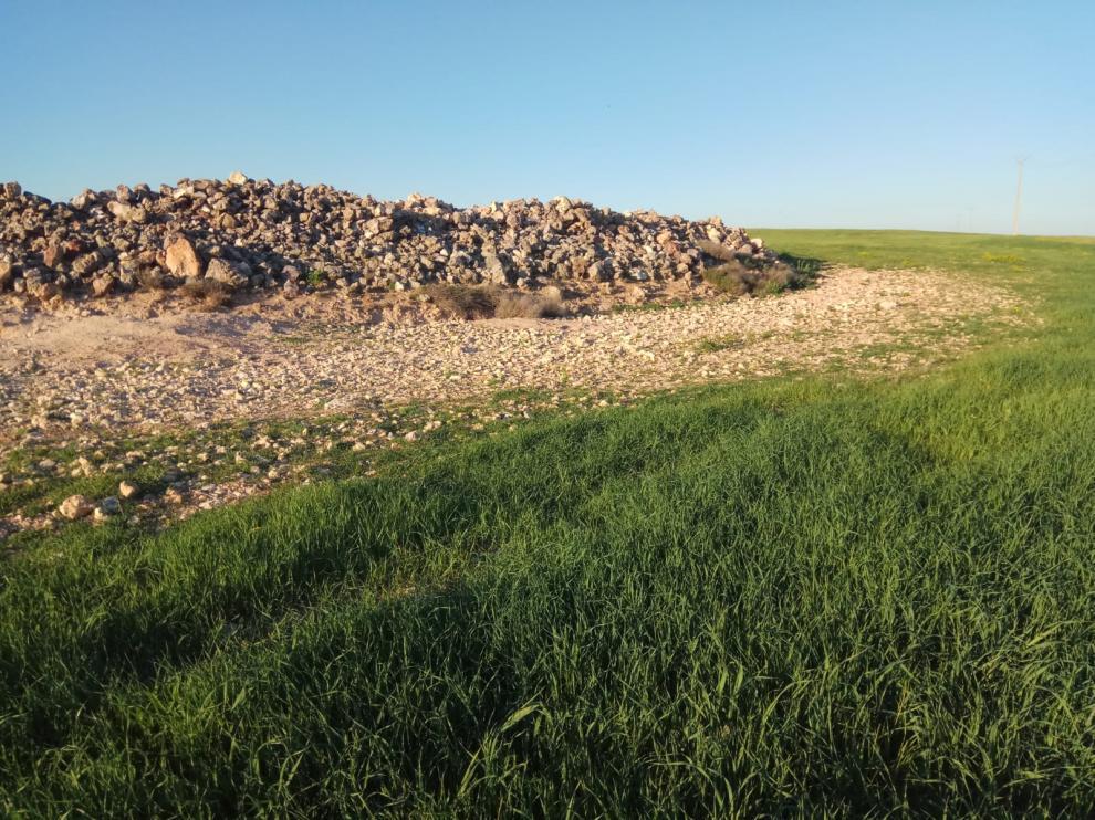 La plaga de conejo está causando daños muy importantes en el campo zaragozano.