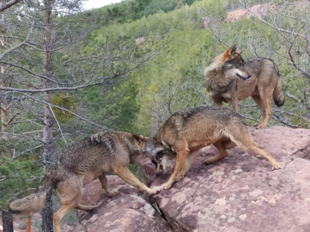 Los tres lobos del parque, mejoran su adaptación al no haber visitantes.