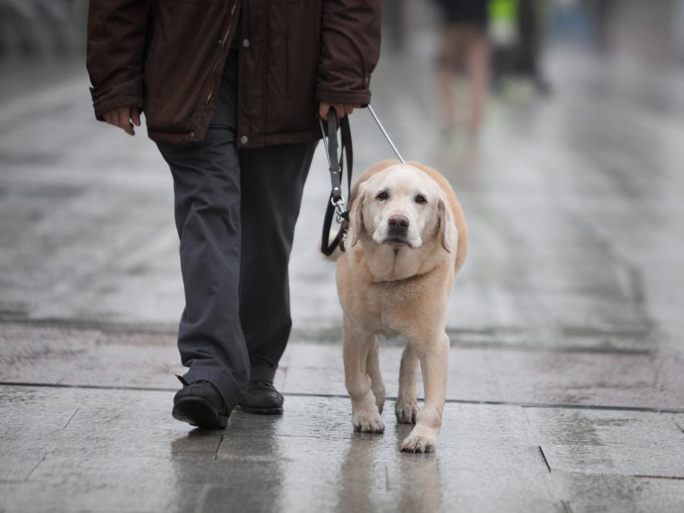 Un perro guía acompaña a una persona ciega en Zaragoza.