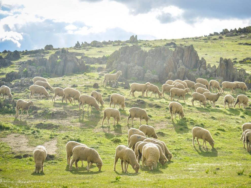 ovejas extremadura