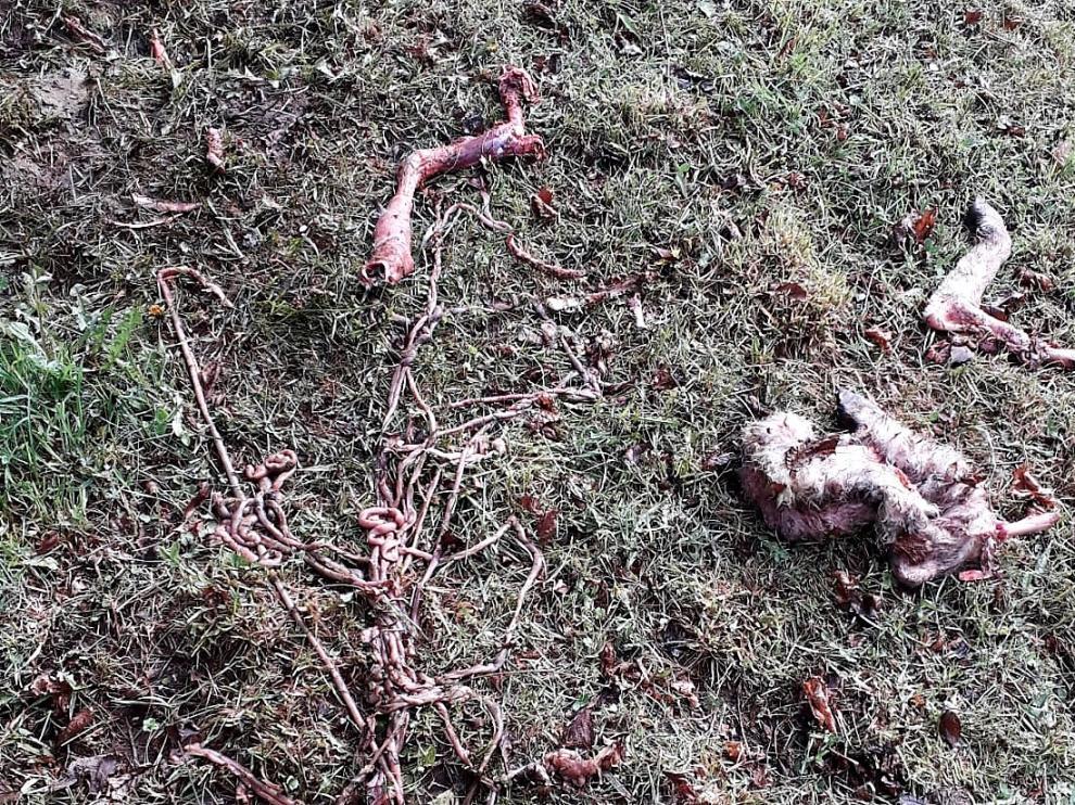 Resto de una oveja devorada por Goiat en San Juan de Plan el 19 de abril.