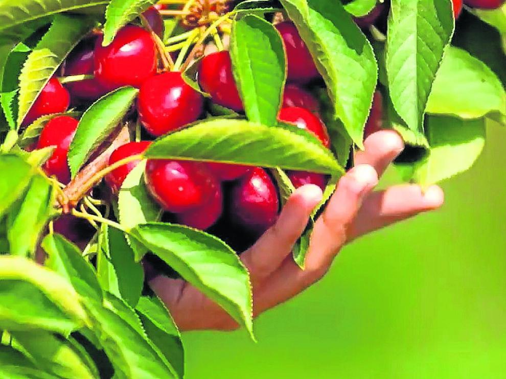 Frutaria ha comenzado ya la recolección de sus cerezas en sus plantaciones aragonesas.