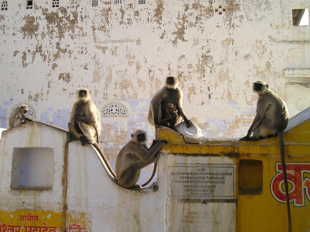 Foto de archivo de monos en la India